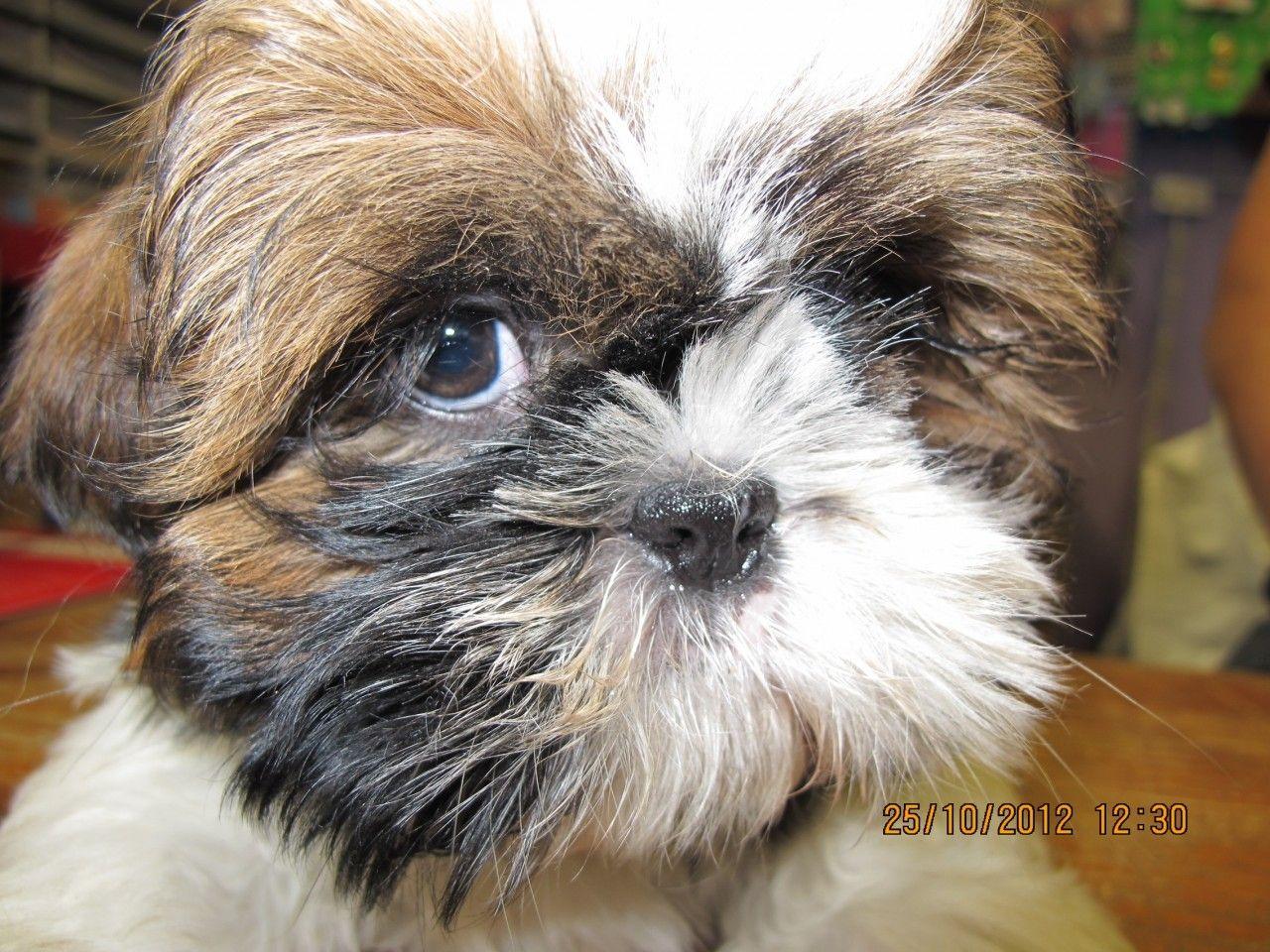 Pets Wonderland Nz Shih Tzu X Lhasa Apso Puppy 690 00 Http