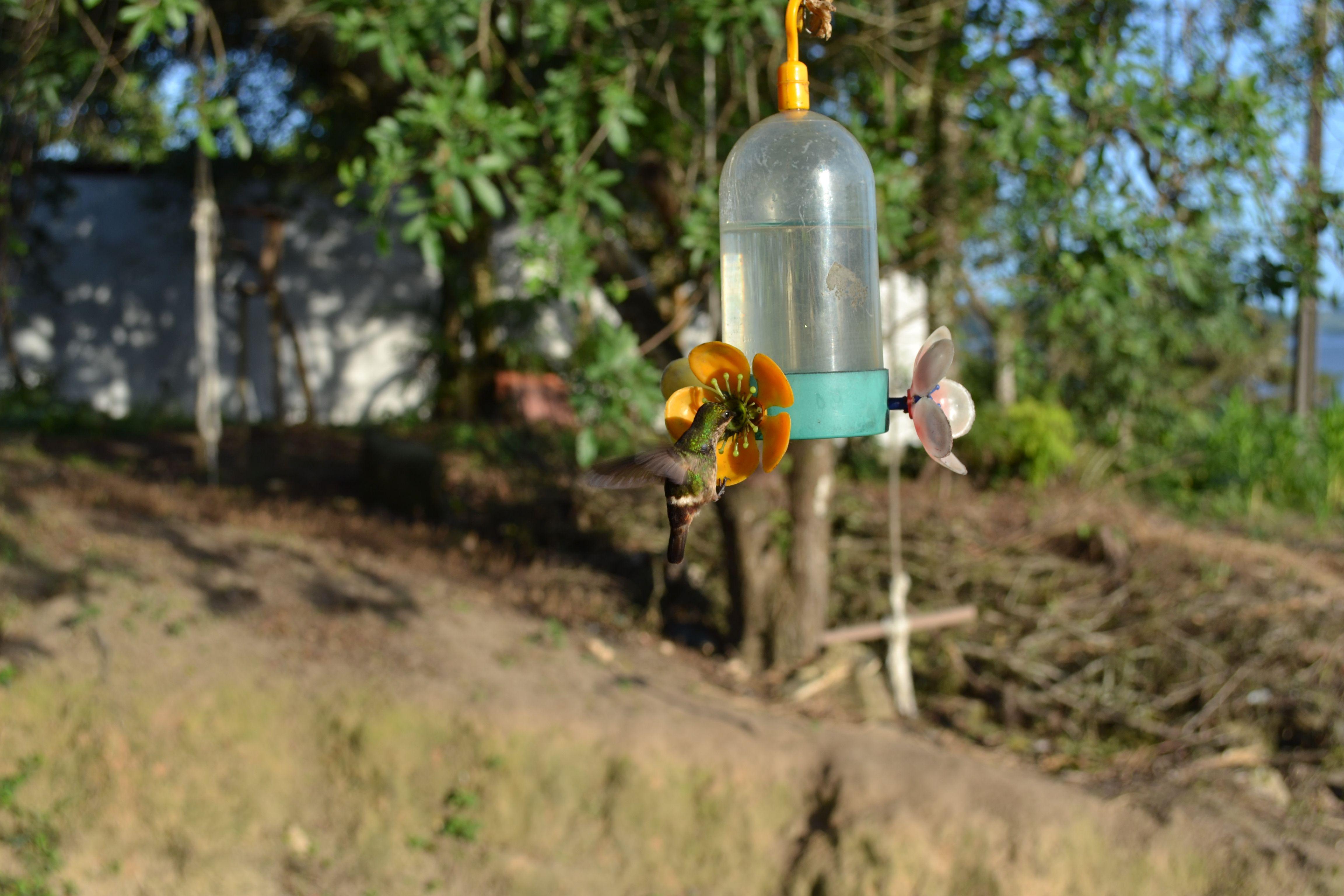 Foto Trochilidae - Foto Colibrì  - Foto Brasile