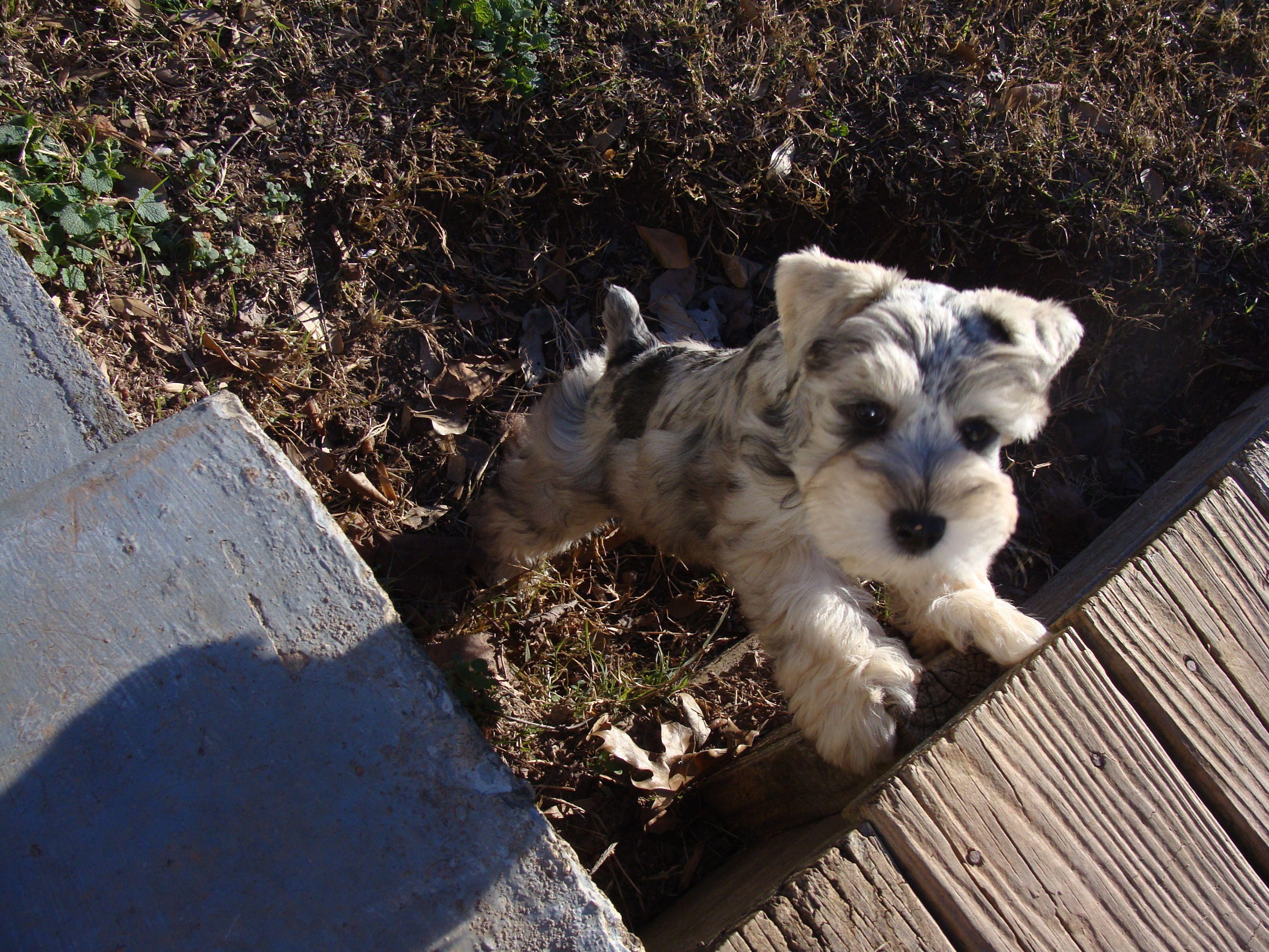 Teacup Schnauzer Full Grown Google Search Schnauzer Puppy