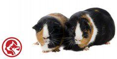 Guinea pig advice