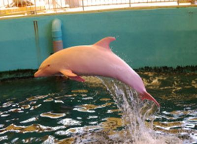 Rare Dolphin Turns Pink When It S Angry Pink Dolphin Dolphins