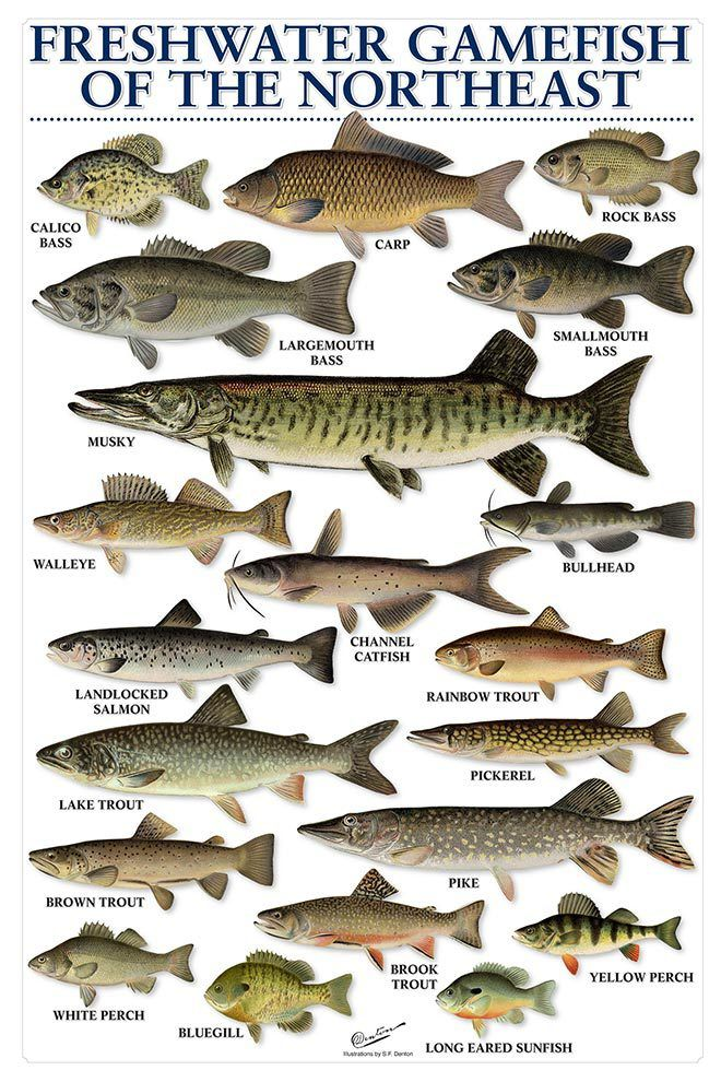Freshwater gamefish of the northeast on the water for Freshwater fishing games