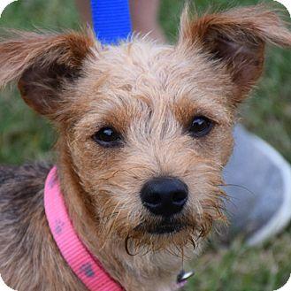 Huntley Il Yorkie Yorkshire Terrier Border Terrier Mix Meet