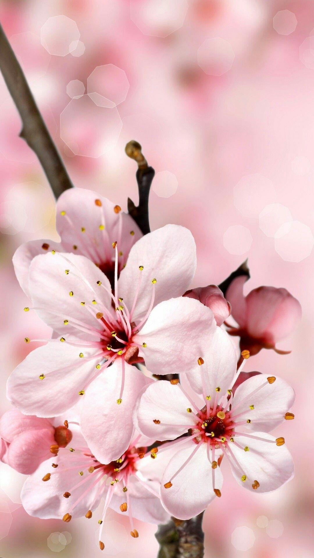 Pin by Ostrovsky on P.I.N.K. Cherry blossom