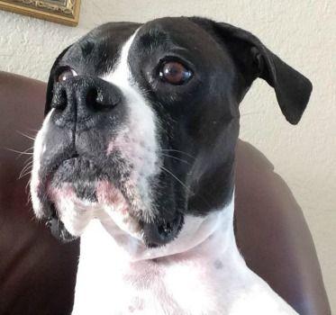 Boxer dog for Adoption in Bradenton, FL. ADN549350 on