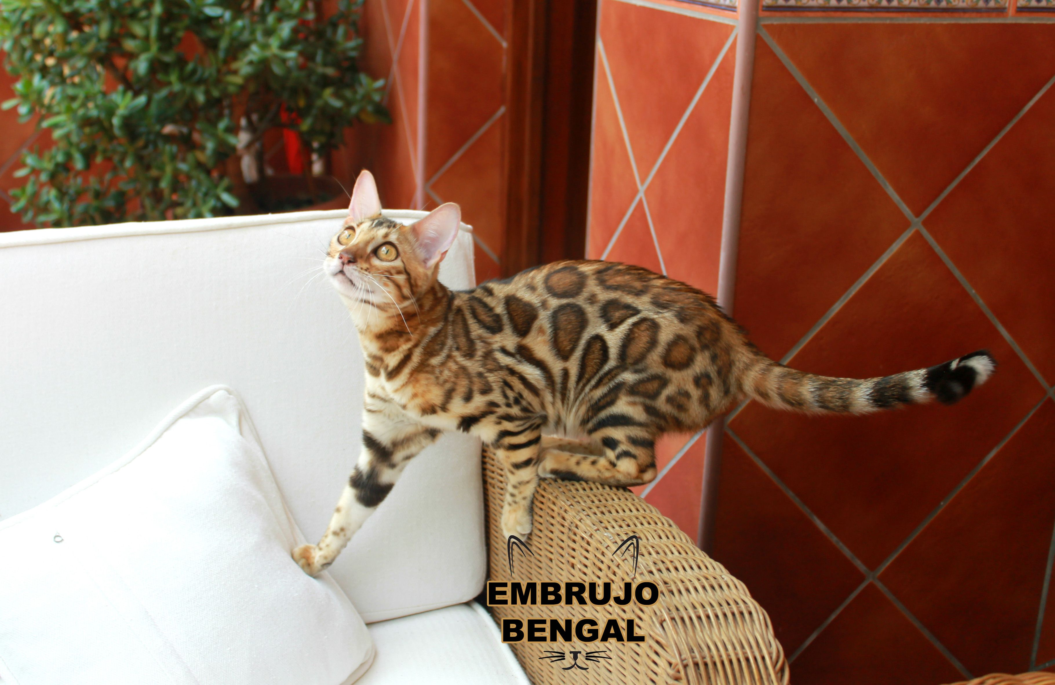 Pin by Joanne Meiners on Bengal Cats, Bengal, Animals