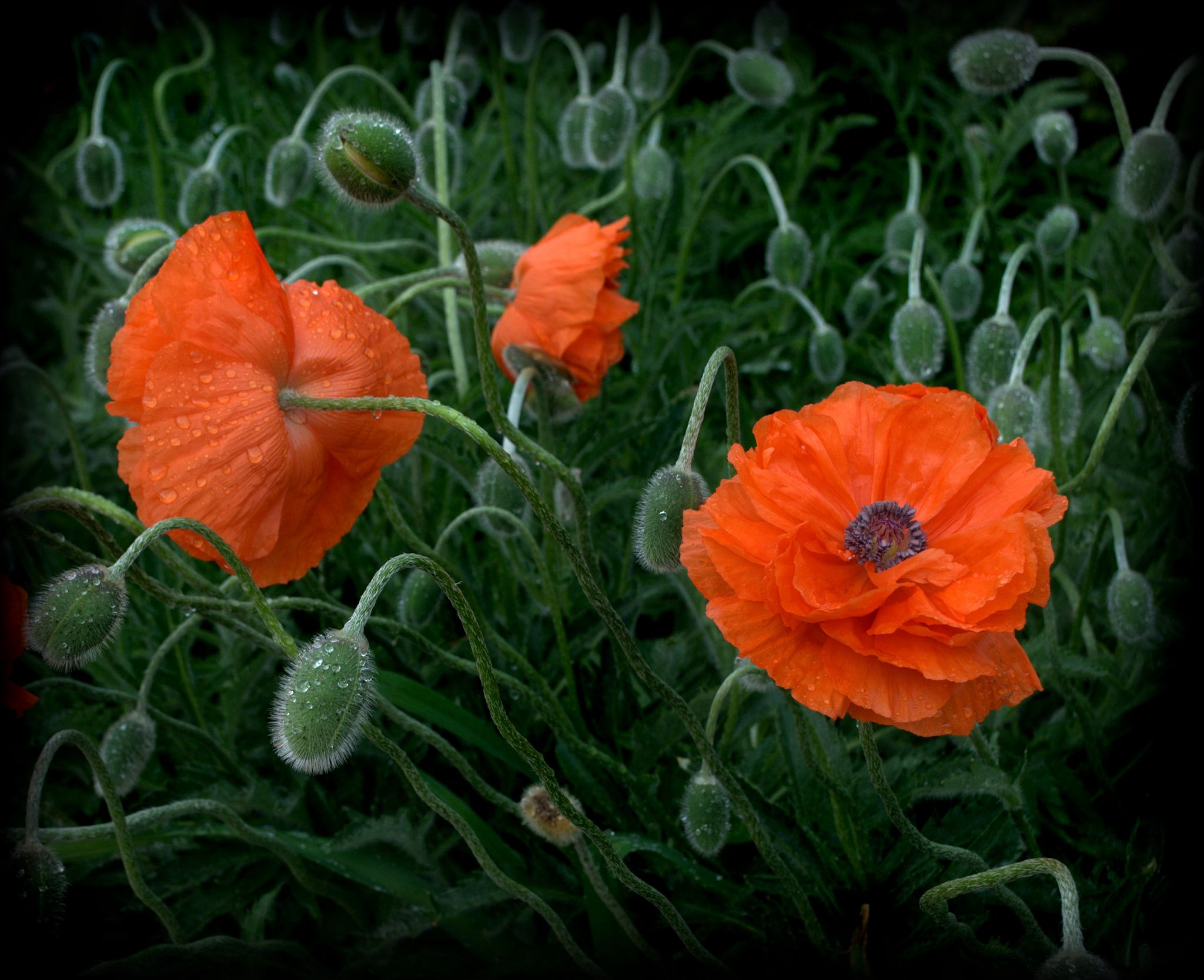 Fotografa Orange Poppy Flowers Por Nate A En 500px Photography I