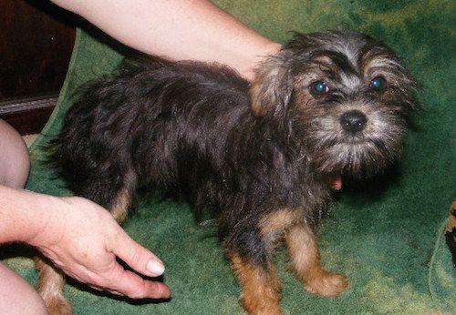 Affenshire Affenpinscher Yorkshire Terrier Hybrid Dogs