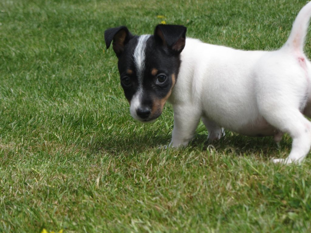 Teacup Chihuahua X Jack Russell Boy Pup Stourbridge West Midlands Pets4homes