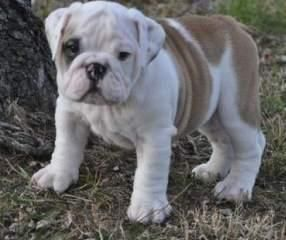 Absolutely Beautiful English Bulldog Puppies Georgia United