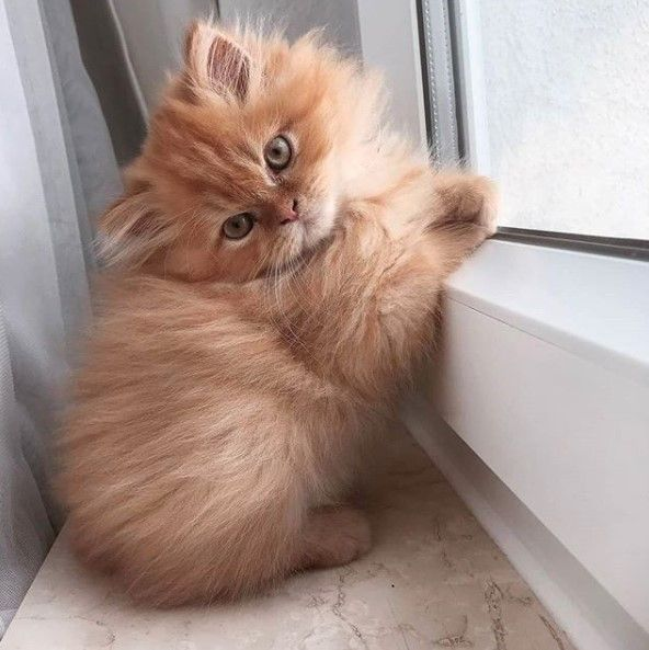 14 Proofs That A Persian Cat Is A Great Choice For Your Family | PetPress