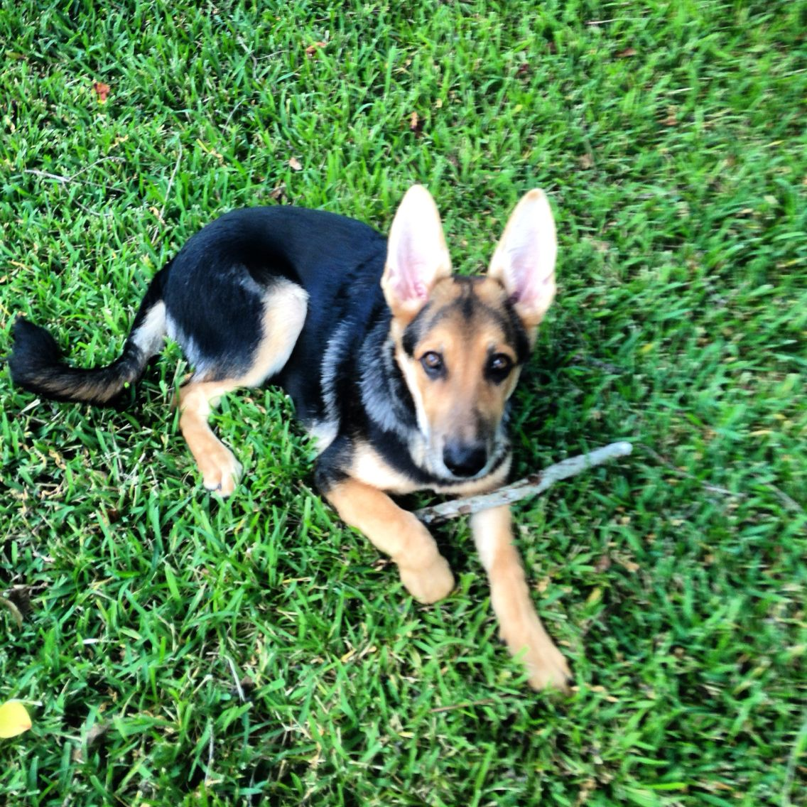 My german shepherd puppy is perfect Ace Buddy I hope to show you as much love as you show me