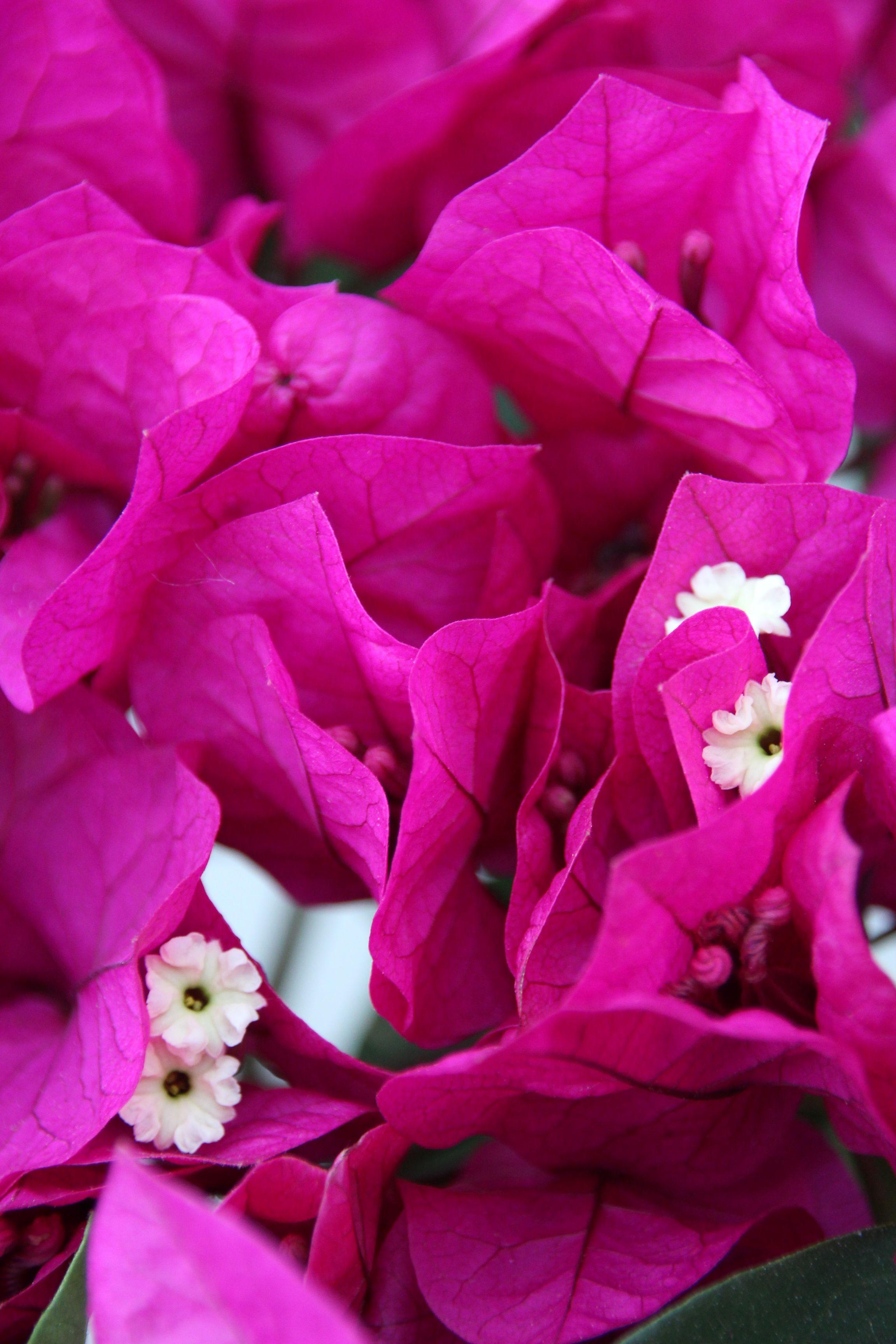 Bougainvillea Plants, Plant nursery, Growing herbs indoors