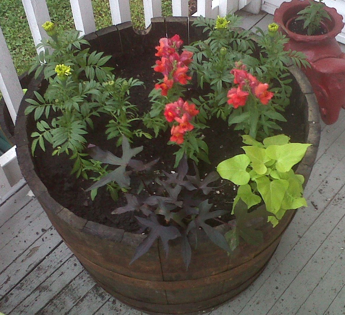 Whiskey barrel planter with sweet potato vines, snap dragons and ...