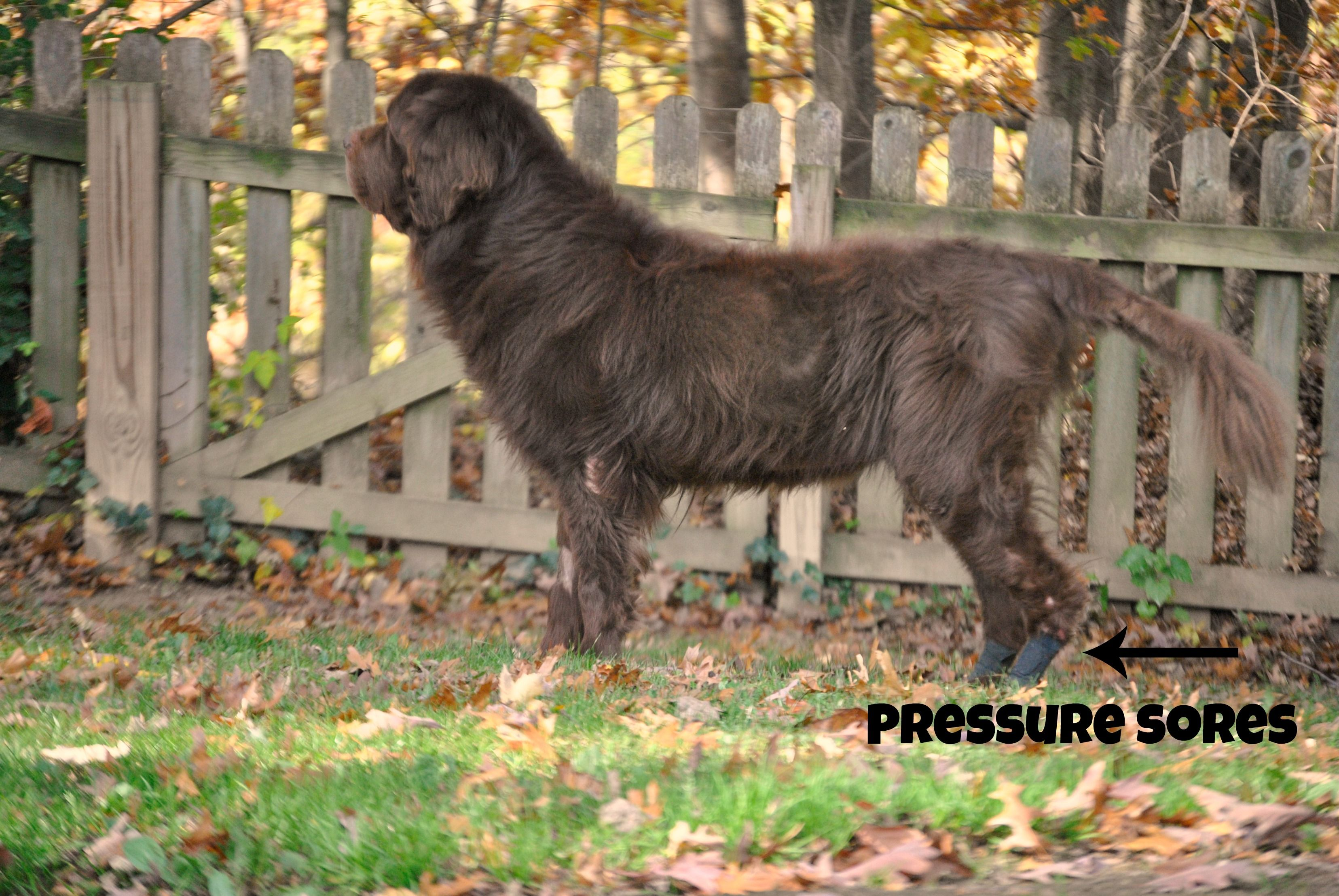 Dogs And Pressure Sores And How We Are Dealing With Them
