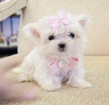 Micro Teacup Maltese Princess Tiny Tiny Tiny Sold Found Loving