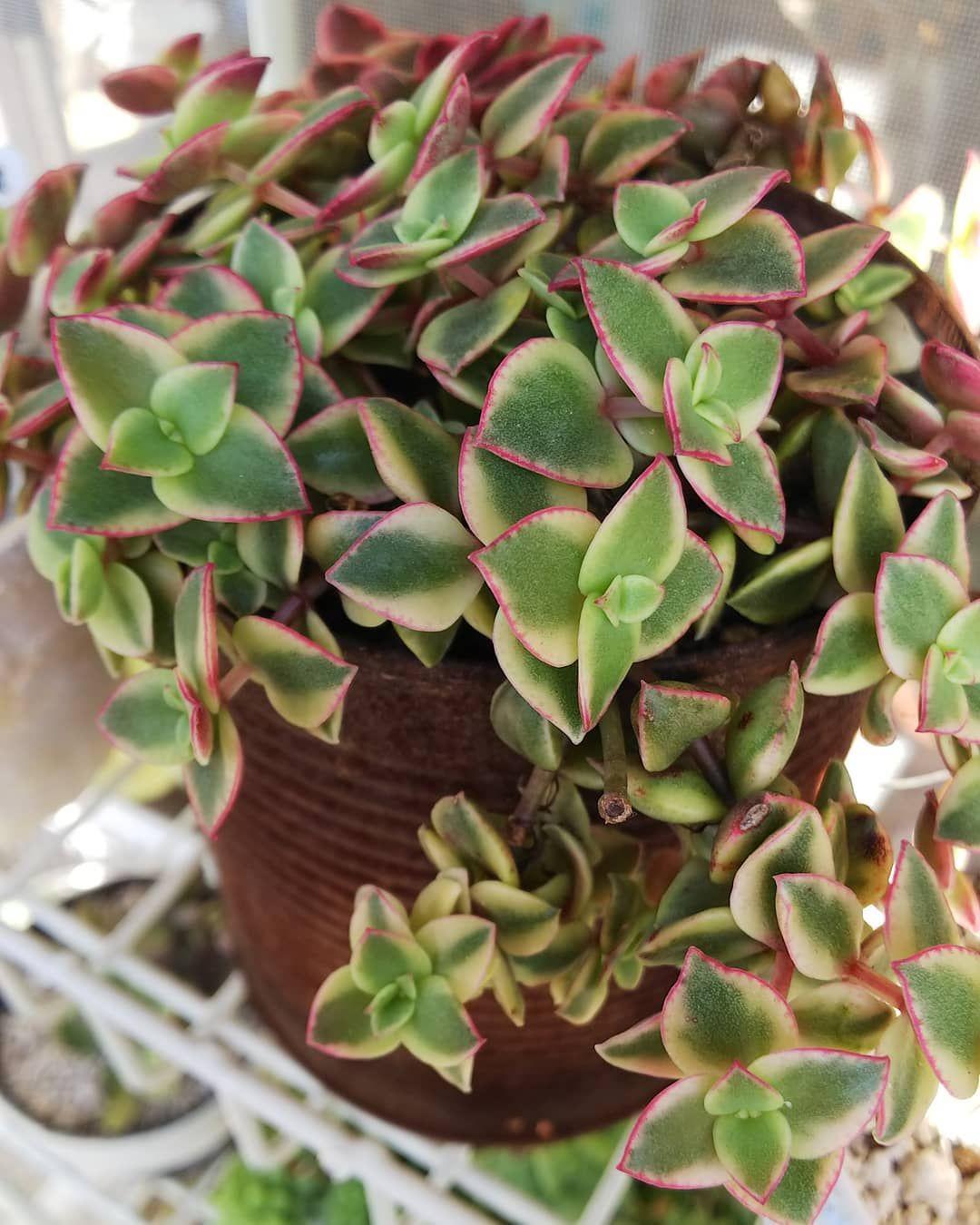 Calico Kitten Repost Hiroorooro Crassula Calicokitten Succulents Subscriptionbox Gardening Succulentcollecti Cactos E Suculentas Suculentas Jardinagem