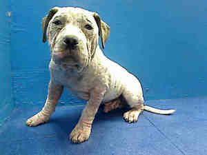 Sosa Is An Adoptable American Bulldog Dog In Brooklyn Ny