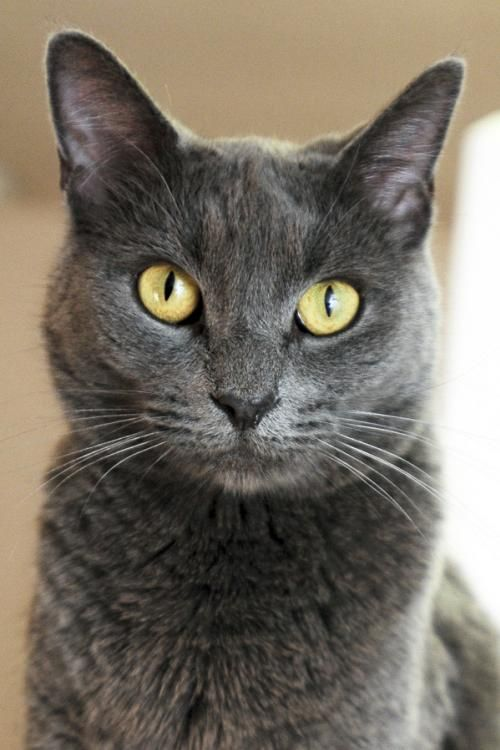 Adopt from Our Sanctuary Russian blue, Grey cats, Grey
