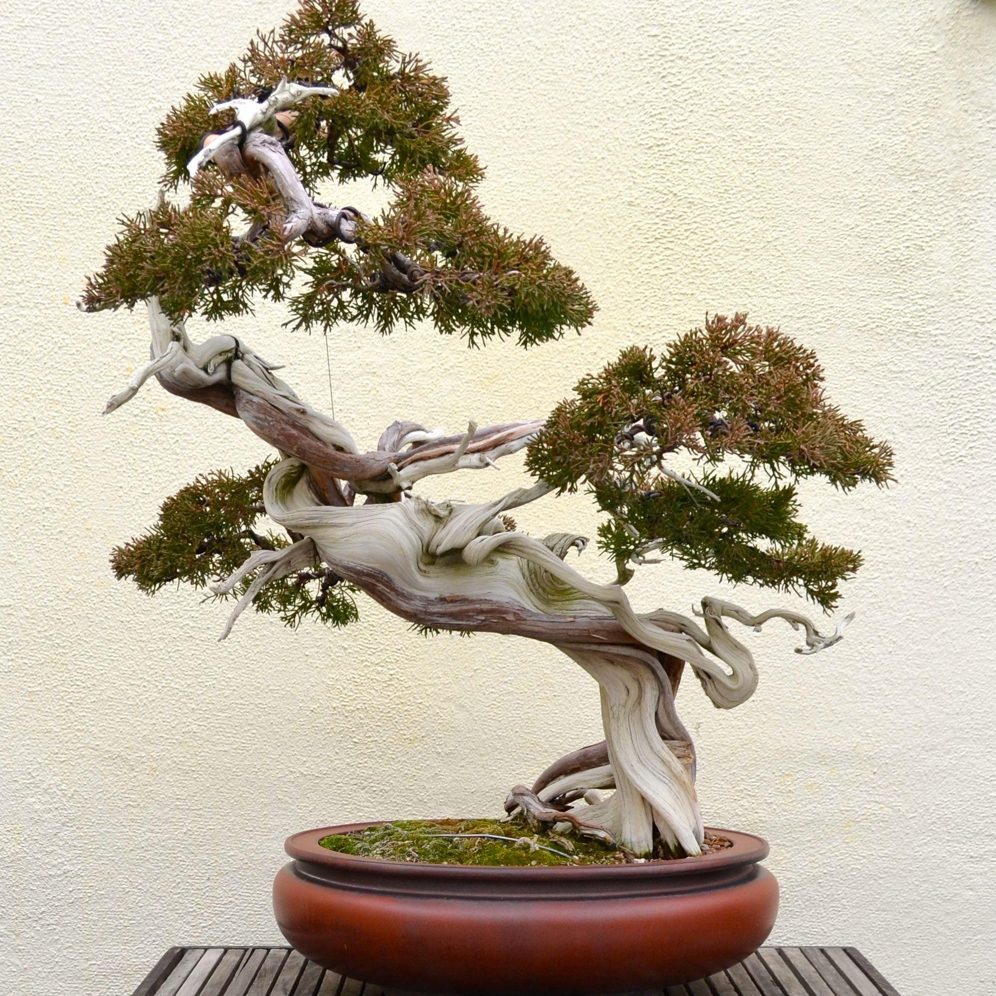chinese juniper bonsai tree Google Search Bonsai tree