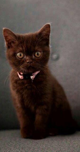 Chocolate Kitty Kittens Cutest Beautiful Cats Kittens