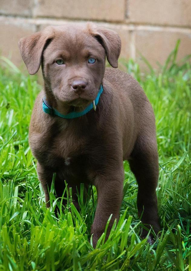Adopt Porter On Dog Training Labrador Retriever Mix Puppies
