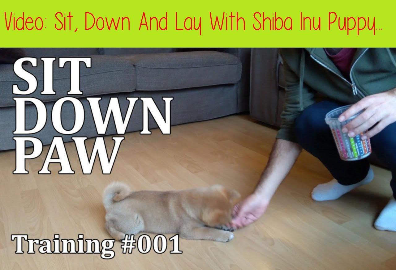 Sit Down And Lay With Shiba Inu Puppy Training 001how To Train