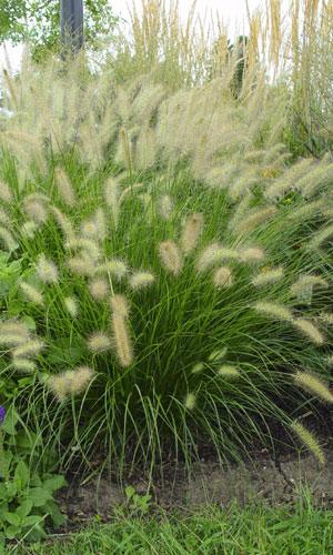 Beautiful ornamental grasses hiding utility boxes for Best tall grasses for privacy
