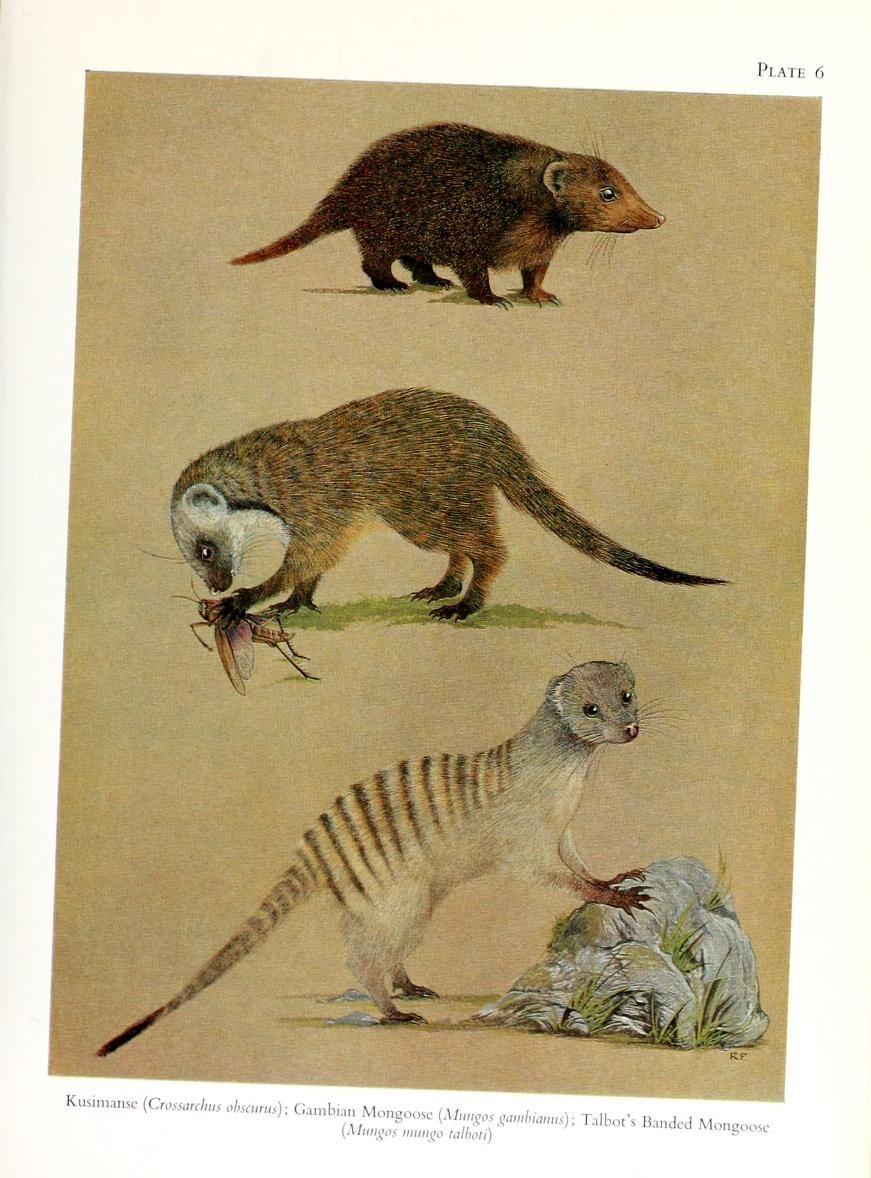 The Carnivores Of West Africa Rosevear Donovan Reginald 1900