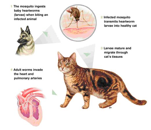 Feline Heartworm Life Cycle | Heartworm Prevention | Pinterest ...