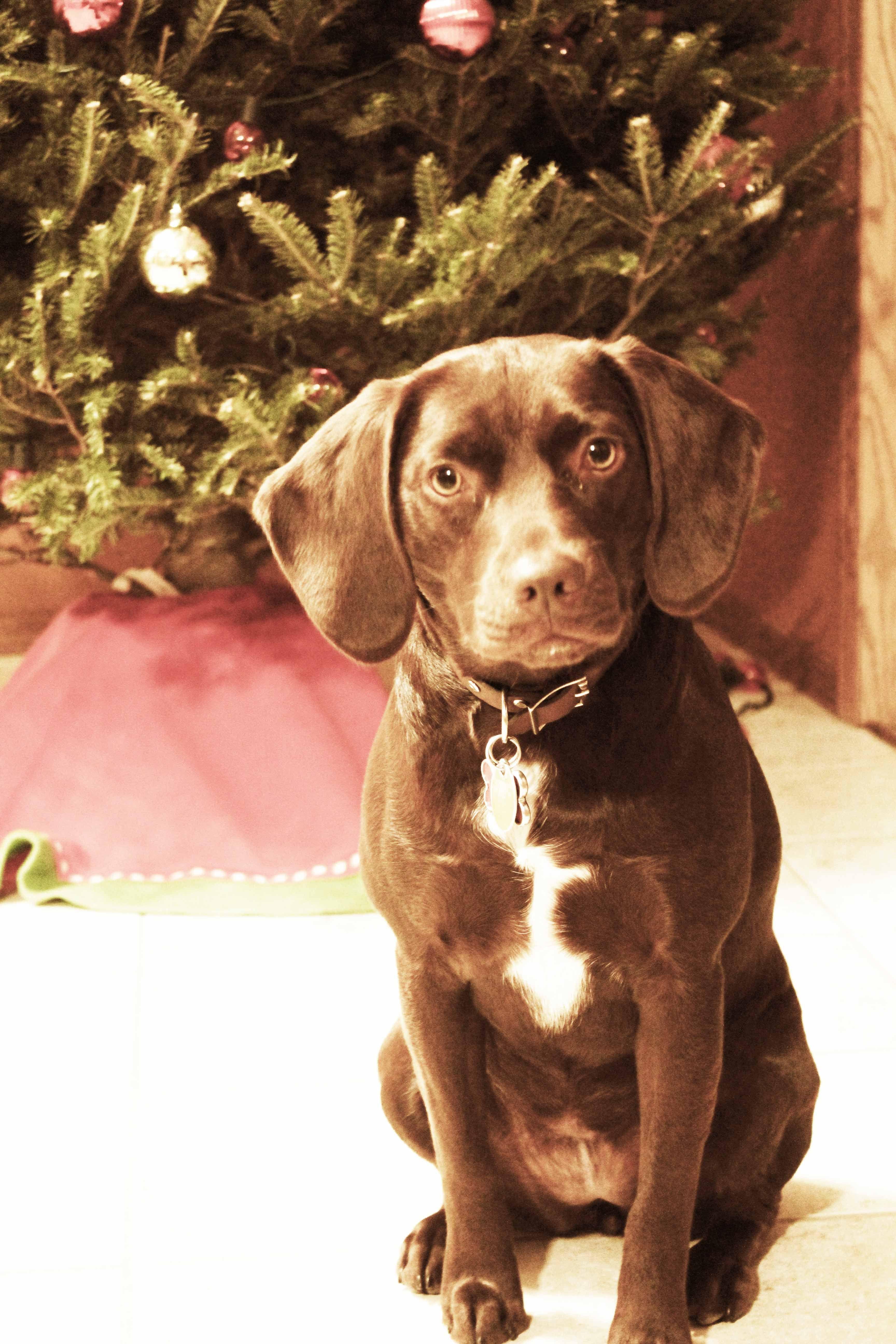 Lab Beagle Mix Cute Animals And Chang' 3