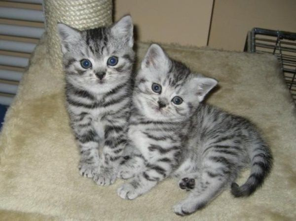 40 Pictures Of Cute Silver Tabby Kittens Silver Tabby Kitten Kitten Adoption Silver Tabby Cat