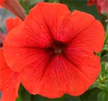 First Ever Orange Petunia A Cool New Petunia From Hort Couture Petunias Outdoor Flowers Flower Seeds