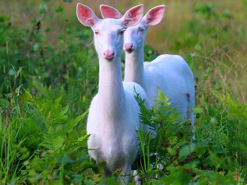 نتيجة بحث الصور عن صور عيون غزلان Albino Deer Albino Animals Rare Animals