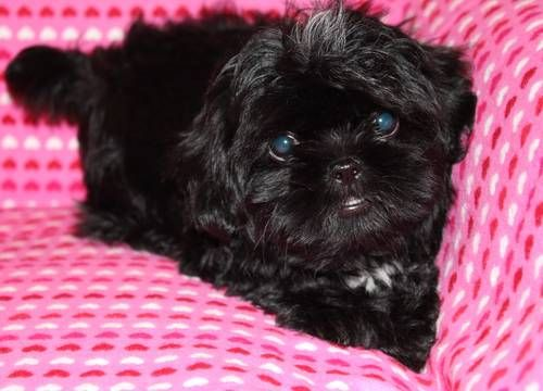 Beautiful Black Akc Female Shih Tzu Puppy Shih Tzu Puppy Shitzu
