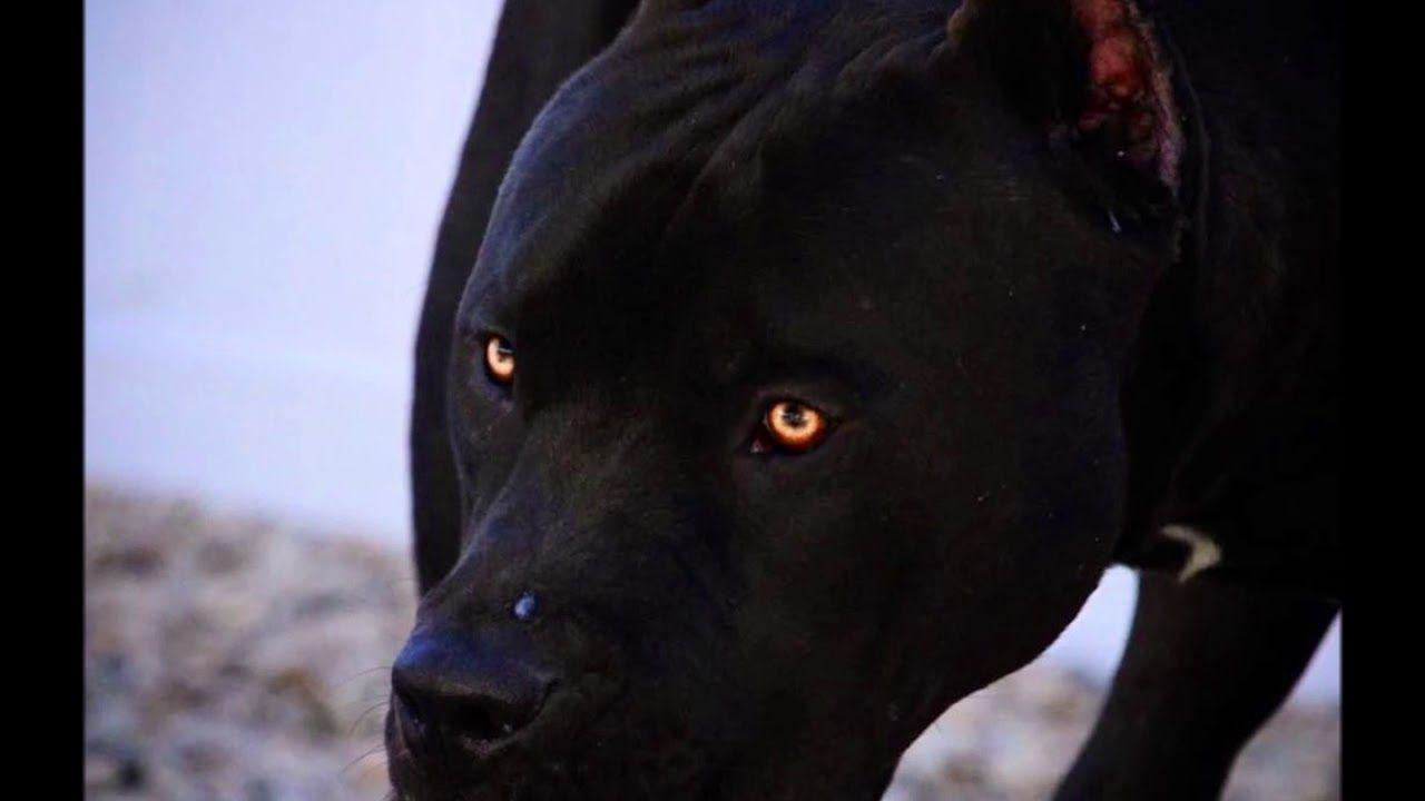 Black Pitbull Yellow Eyes In 2020 Black Pitbull Pitbull Terrier Pitbulls