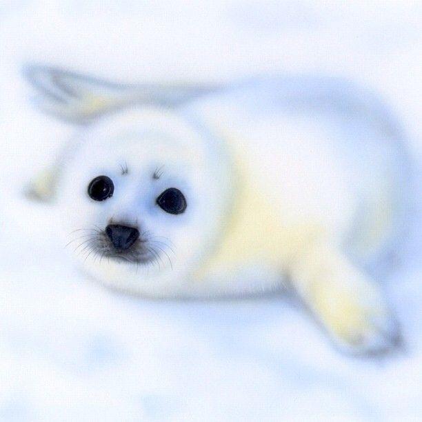 真夜中にひっそりとアップシリーズ。#アザラシ #Seal #cute #animal #illustration #analog #airbrush #painting #nofilter ✨