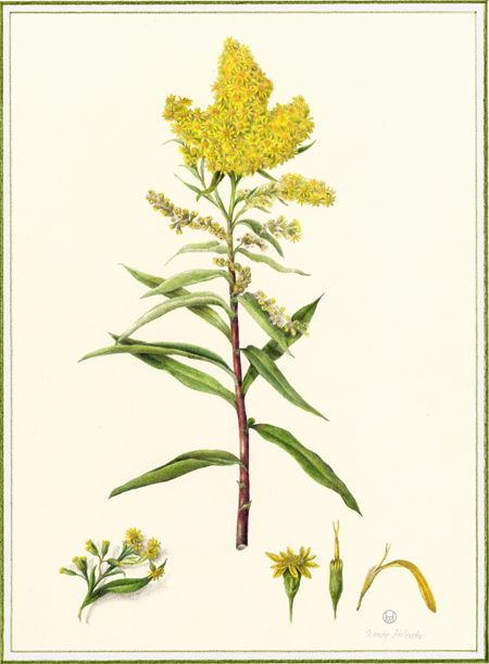 Goldenrod For Botanical Style Tattoo Reference Maybe On The Side Up To The Back Goldenrod Flower Plant Illustration Botanical Flowers