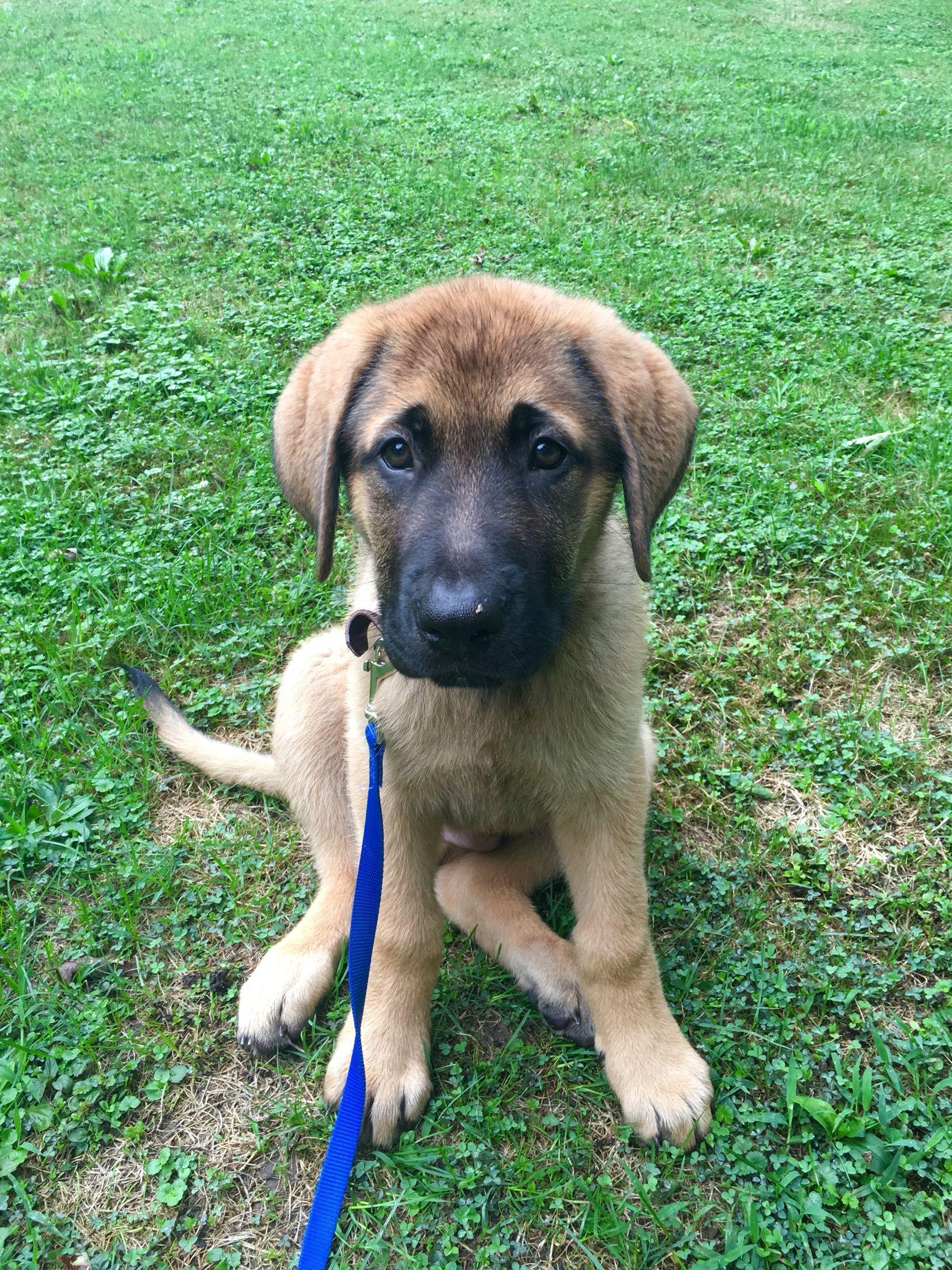 Petey My Brother S English Mastiff German Shepherd Pup Http Ift