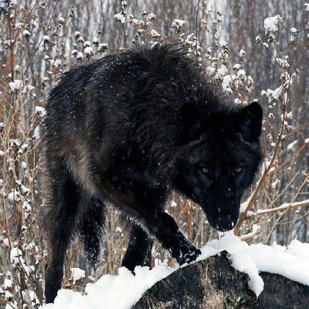 Multi Color Black Wolf Grey