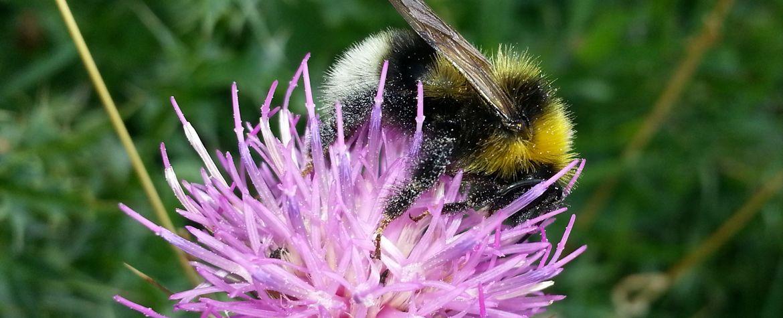 Estudio sobre la desaparición de especies de abejorros (03/03/2017)