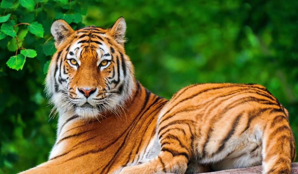 Animals Wallpaper 3d Hd 2 0 Apk Download: Mind Blowing Hd Downloads Tiger Wallpapers