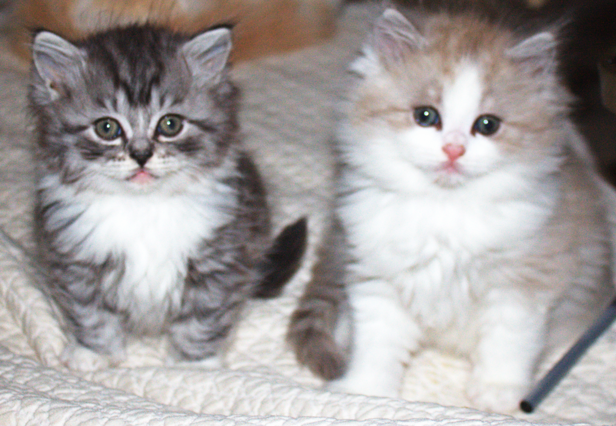 Prince and Princess from The L il Royal Litter RagaMuffin Kittens
