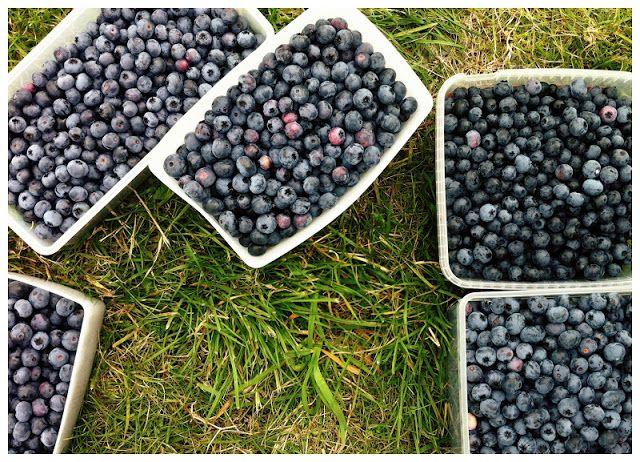 blåbær plukselv i Nimtofte