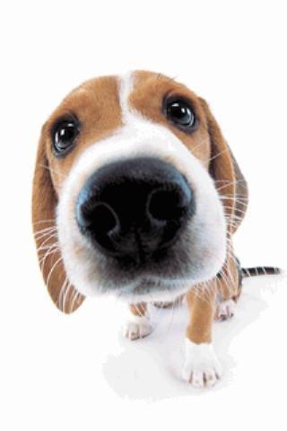 Pin By Chocolate Princess On Zukunftige Projekte Cute Beagles Beagle Beagle Dog