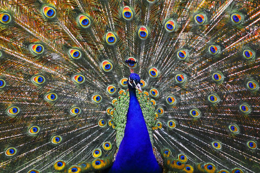 Plethora of Eyes #MalePeacock
