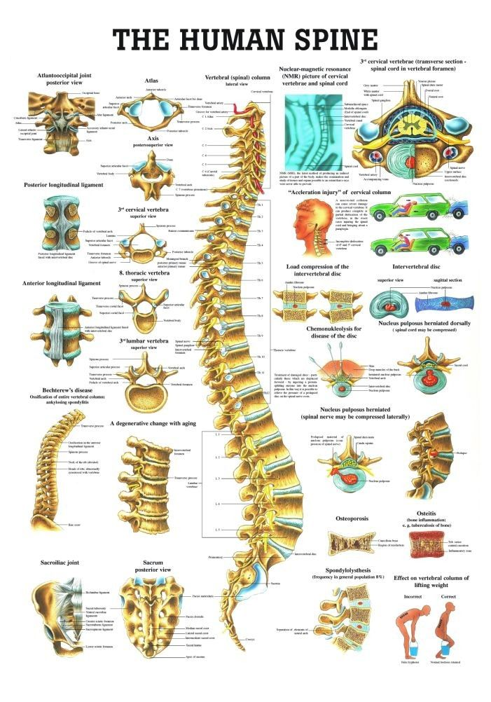 The Human Spine Laminated Anatomy Chart Anatomy Lessons