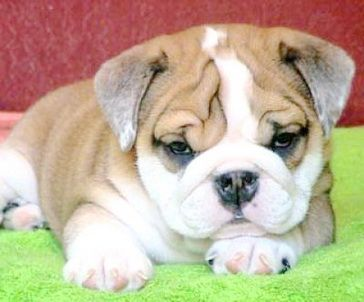 Oh Santa Can I Please Please Have An English Bulldog Puppy For Christmas I Promise I Ve Been Good Miniature English Bulldog Miniature Bulldog Puppy Owner