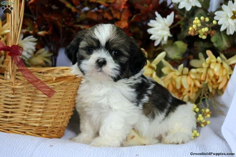 Kam Shih Tzu Puppy For Sale In Pennsylvania Shih Tzu Puppy