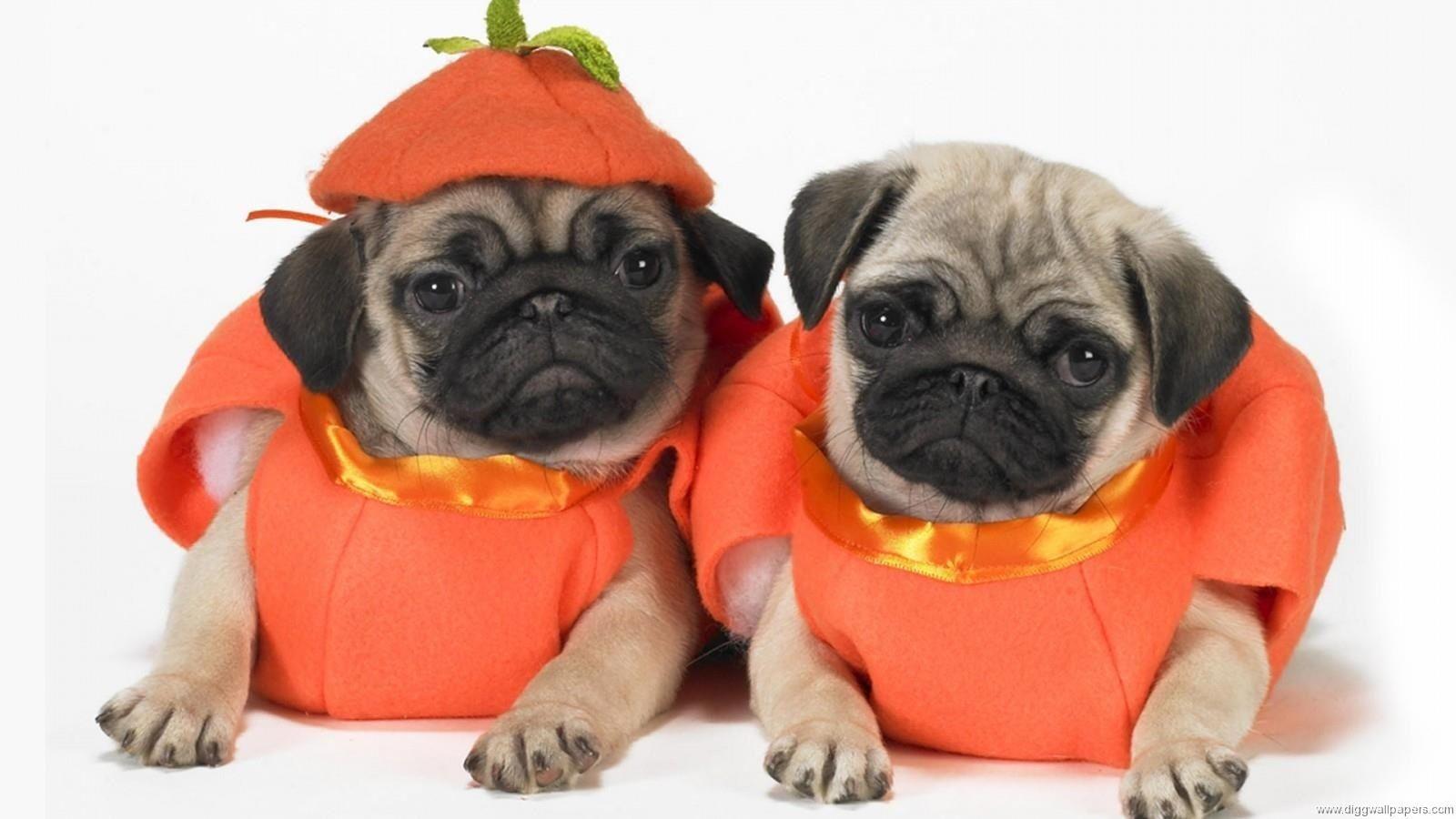 Halloween Pugs Cute Pugs Pugs In Costume Halloween Animals